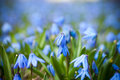 Blue Scilla siberica Stock Images