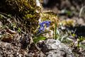 Blue scilla siberica in spring early blooming flowers the crimea mountains Stock Photography