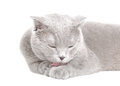 Blue Scottish Fold cat licks his paw Royalty Free Stock Photo