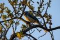 Blue scrub jay bird on a branch Royalty Free Stock Photo