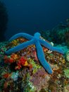 Blue sea star on a tropical reef Stock Images
