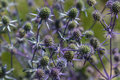 Blue sea thistle flower / sea holly Royalty Free Stock Photo