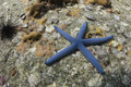 Blue seastar (linckia laevigata) at Lipe island Royalty Free Stock Photos