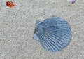 The blue shell close up image with on beach honeymoon island florida Royalty Free Stock Images