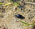 Blue shining bug, Lithuania Royalty Free Stock Photo