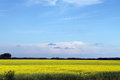 Blue skies, Canola growing in  Manitoba Royalty Free Stock Photo