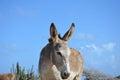 Blue Skies Surround this Beautiful Wild Donkey Royalty Free Stock Photo