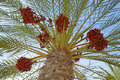 Red Dates Palm Tree Palms Royalty Free Stock Photo