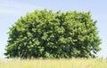 Blue sky, green bush, yellow grass Royalty Free Stock Photo