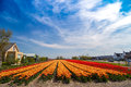 Blue sky over orange and yellow tulip fields near village of Lisse, Holland Royalty Free Stock Photo