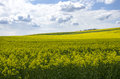Blue sky over the rape field photo shows a beautiful with clouds Stock Images