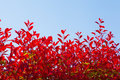 Blue sky and red leaf hedge this is a Stock Image