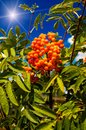Blue sky,sun and tree of ripe rowanberry. Royalty Free Stock Photography