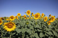 Blue sky and sunflower field Royalty Free Stock Photo