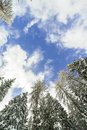 Blue sky with white clouds and the top of the fir trees in the winter. Royalty Free Stock Photo