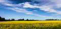Blue sky, yellow field Royalty Free Stock Photography
