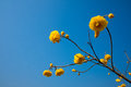 Blue sky and yellow flowers Royalty Free Stock Photo