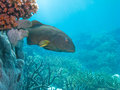 Blue-spot Coral Trout Great Barrier Reef Australia Royalty Free Stock Photo