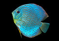 Blue spotted fish Discus Stock Photos