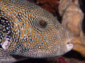 Blue spotted puffer close up of a fish Royalty Free Stock Photo