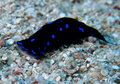 Blue spotted shield slug chelidonura Red Sea Royalty Free Stock Photo