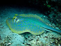 Blue Spotted Sting Ray Royalty Free Stock Photo