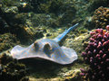 Blue-spotted stingray, Marsa Alam Royalty Free Stock Photo