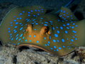 Blue spotted stingray red sea hurghada at night Stock Photography