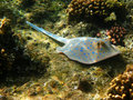 Blue-spotted stingray and reef Royalty Free Stock Photo