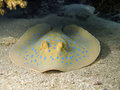 Blue spotted stingray watching you Royalty Free Stock Photo