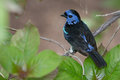 Blue spotted tanager a perched on a branch Stock Photo