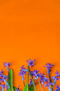 Blue spring flowers with green leaves on an orange background Royalty Free Stock Photo
