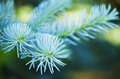 Blue spruce branches Stock Image