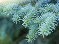 Blue spruce branches Royalty Free Stock Images
