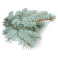 Blue spruce branches hand drawn vector illustration of silvery picea pungens with accurate details design element on white Royalty Free Stock Photo