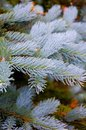 Blue Spruce Detail Royalty Free Stock Photography