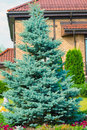 Blue spruce near  cottage Royalty Free Stock Photo