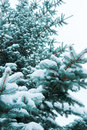 Blue spruce snowbound closeup from the bottom up Stock Photo