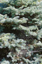 Blue spruce Royalty Free Stock Photo