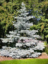Blue Spruce Tree Stock Image