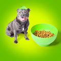 Blue staffie with his bowl of food Royalty Free Stock Photos