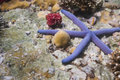 Blue starfish at Lipe island Stock Image
