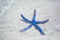 Blue starfish on perfect tropical sand beach Stock Images