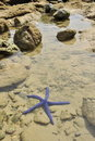 Blue starfish in the sea Stock Image