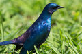 Blue starling bird Stock Photos