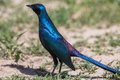 Blue starling bird Stock Images