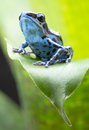 Blue strawberry poison dart frog dendrobates pumilio colubre from the tropical rain forest of panama a beautiful small rainforest Stock Photography