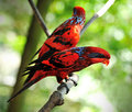 Blue streaked lory eos reticulata it is found in the tanimbar islands and babar indonesia Stock Photos