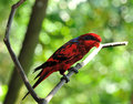 Blue streaked lory eos reticulata it is found in the tanimbar islands and babar indonesia Stock Photography