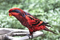 Blue Streaked Lory in the Park Stock Photos